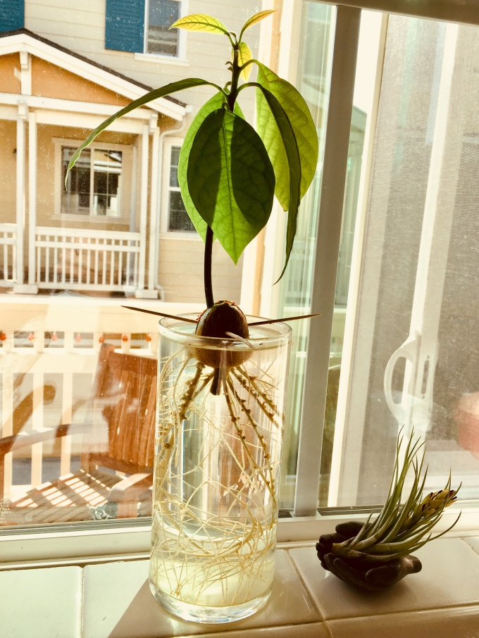 Avocado tree from seed 3 months
